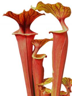 Sarracenia flava var. rubricorpora near Sumatra
