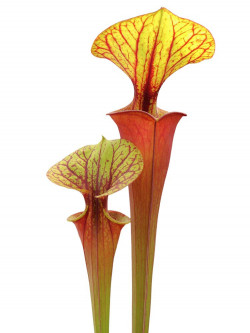 Sarracenia flava var. rubricorpora  Red tube ( Mike Brooks)