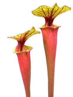 Sarracenia flava var. rubricorpora  Sumatra F167 C MK