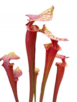 Sarracenia flava var. rubricorpora  Liberty Co. FL  F30 MK