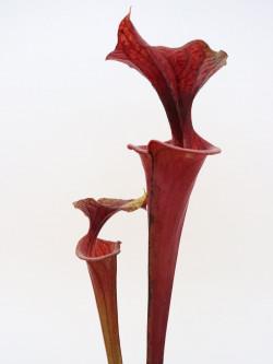Sarracenia flava var. rubricorpora  FL23 RVL