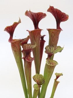 Sarracenia flava var. rubricorpora  ipf81 AS
