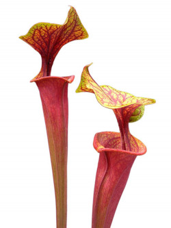 Sarracenia flava var. rubricorpora  ipf74 AS