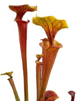 Sarracenia flava var. rubricorpora  SFX12 AC