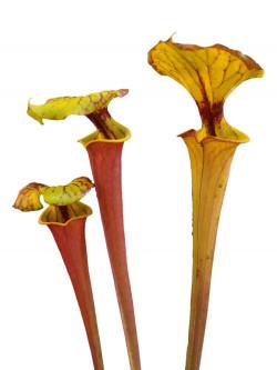 Sarracenia flava var. rubricorpora  SFRB12 AC