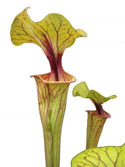 Sarracenia flava var. ornata F208 MK