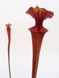 Sarracenia flava var. ornata F197 MK