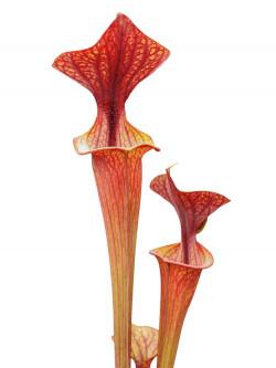 Sarracenia flava var. ornata  F47 MK