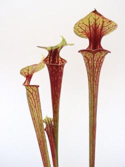 Sarracenia flava var. ornata  F203 MK