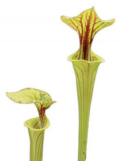Sarracenia flava var. ornata  F156 MK