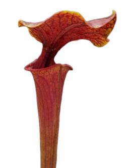 Sarracenia flava var. ornata  F144 MK