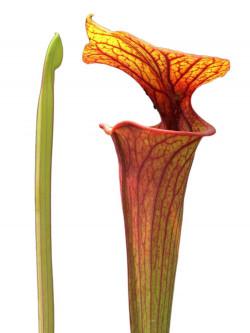 Sarracenia flava var. rubricorpora  F56 MK