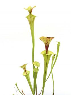 Sarracenia flava var. ornata  F59 Srba