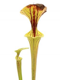 Sarracenia flava var. ornata  F185 MK