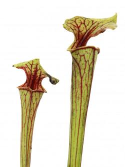 Sarracenia flava var. ornata  FL53 RVL