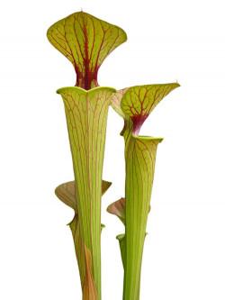 Sarracenia flava var. ornata  F72 PW
