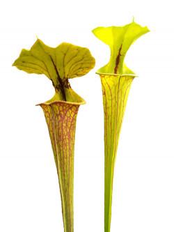 Sarracenia flava var. ornata  F227 MK