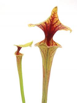 Sarracenia flava var. ornata  F11A Srba