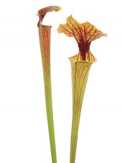 Sarracenia flava var. ornata  F252 MK