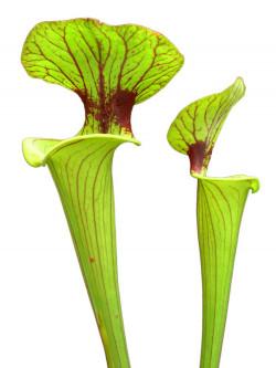 Sarracenia flava var. ornata  (Potterton & Martin)