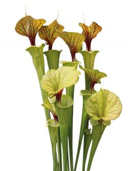 Sarracenia flava var. ornata Ex Marston Exotics