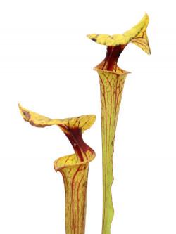Sarracenia flava var. ornata  F36 MK