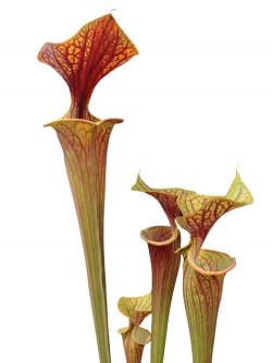 Sarracenia flava var. ornata FL09 RVL