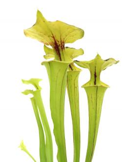 Sarracenia flava var. ornata  F35 MK