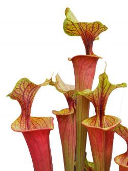 Sarracenia flava var. ornata / rubricorpora intergrade F63 MK