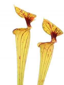 "Sarracenia flava var. ornata ""Inglesina"""