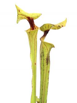 Sarracenia flava var. ornata  Gulf Coast