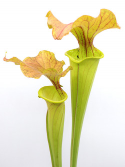 "F6 GC  Sarracenia flava var. cuprea ""Bronze blush"""