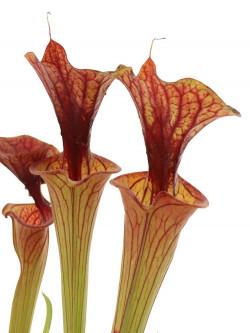 Sarracenia flava var. cuprea  F108 PW