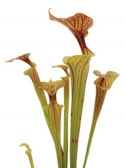 Sarracenia flava var. cuprea  F CU 01  PJ Plants