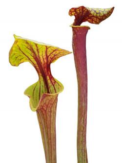 "Sarracenia flava var. ornata "" Giant lid "" Srba"
