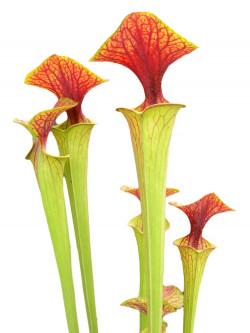 Sarracenia flava var. cuprea  Marsure clone