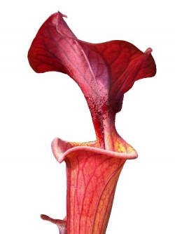 Sarracenia flava var. cuprea , Very Dark  Wistuba