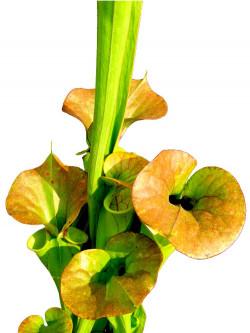 """Sarracenia flava var. cuprea  """" Bronze """""""