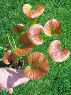 Sarracenia flava var. cuprea  Santee Coastal reserve
