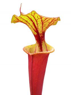 Sarracenia flava var. rubricorpora F111 MK