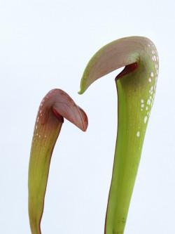 Sarracenia minor var. Okefenokeensis  M5 MK
