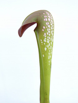 Sarracenia minor var. Okefenokeensis  M5 MK