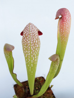 Sarracenia minor Near Waccamaw river  M12 MK