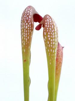 "Sarracenia minor var. okefenokeensis ""Giant""  M16 MK"