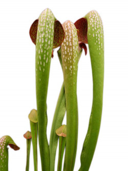 Sarracenia minor var. okefenokeensis