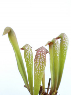 Sarracenia minor  typical form