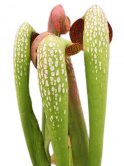 "Sarracenia minor var. okefenokeensis ""Giant"""