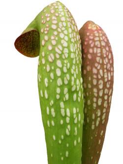 Sarracenia minor  var. minor  Tall form  MI03 RVL