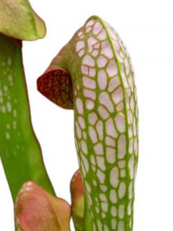 Sarracenia minor var. minor  BCP