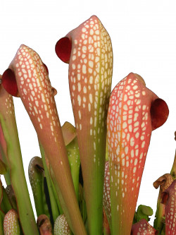 "Sarracenia minor var. minor "" Coppery red """